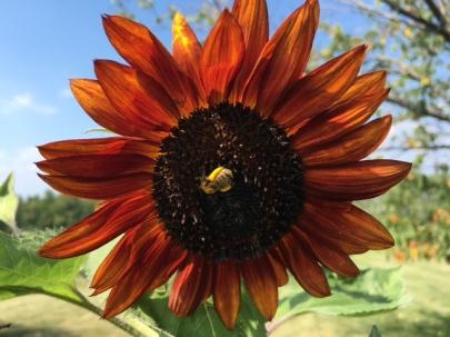 sunflowe bee 2